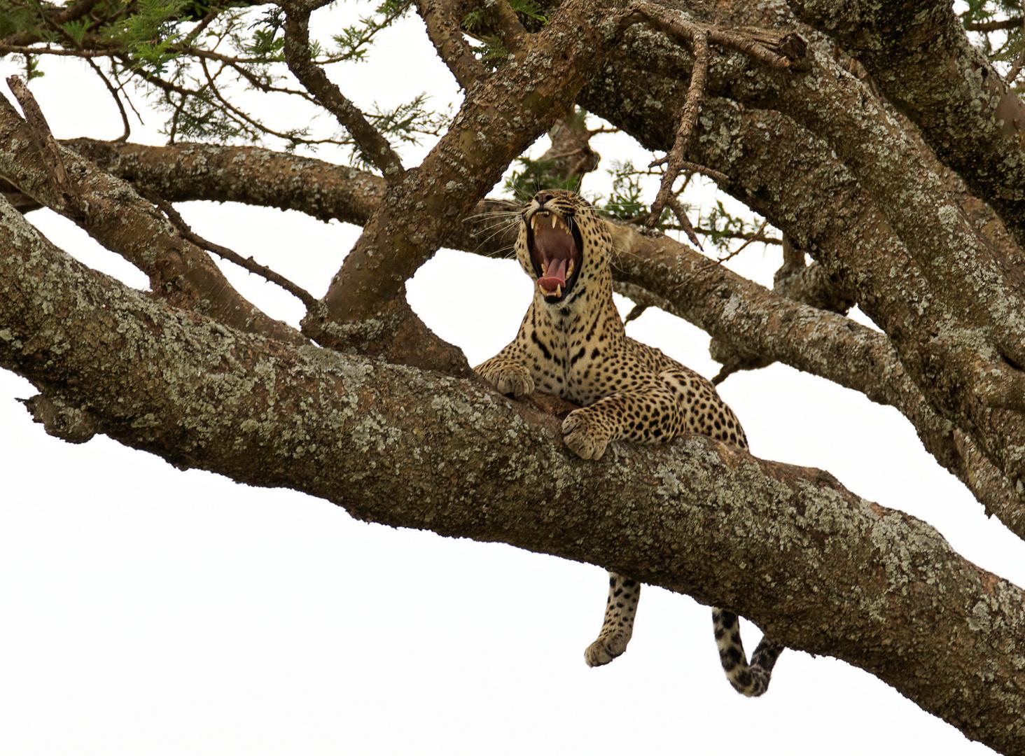 Leopard, Serengeti 2013