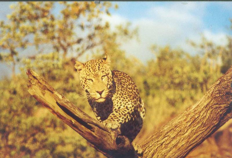 Leopard, springt er oder nicht???