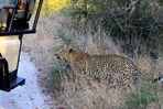 Leopard sucht Mitfahrgelegenheit