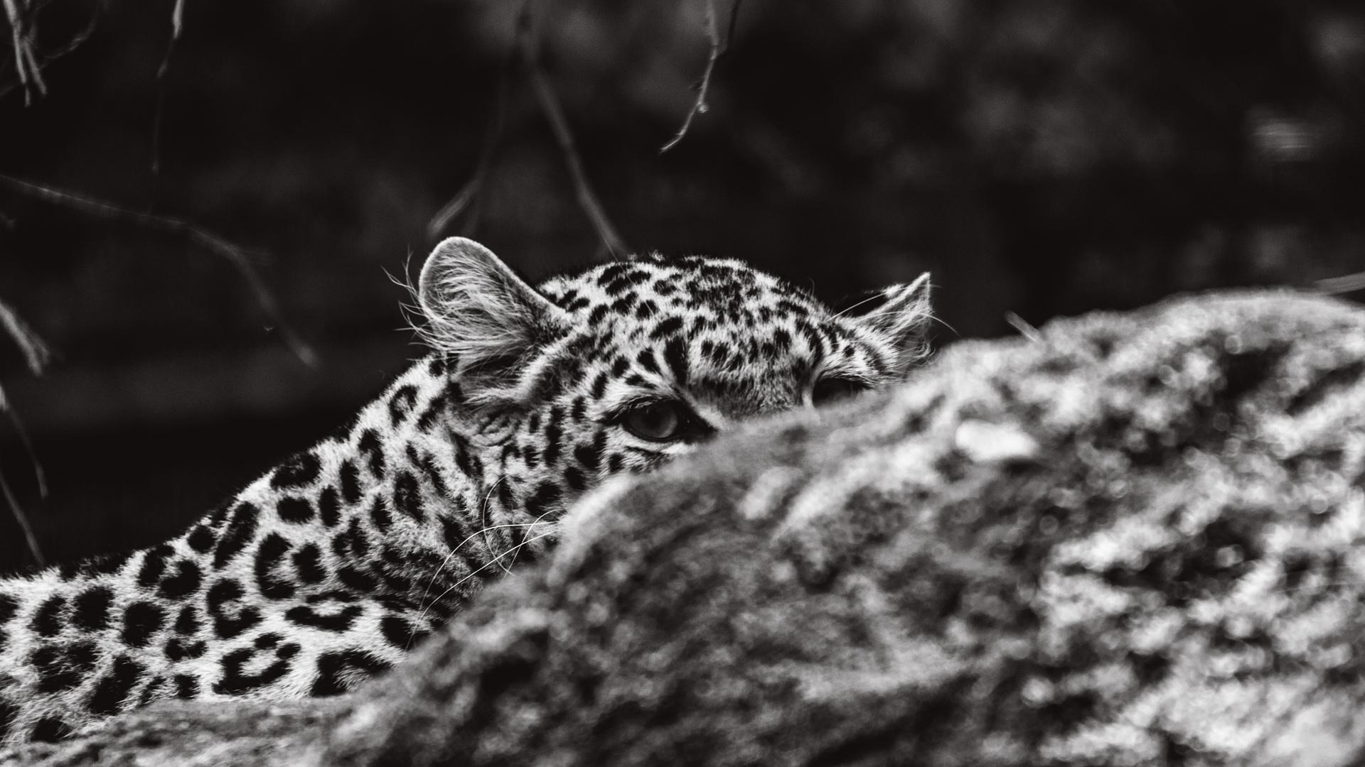 Leopard versteckt sich