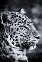 Leopard VII