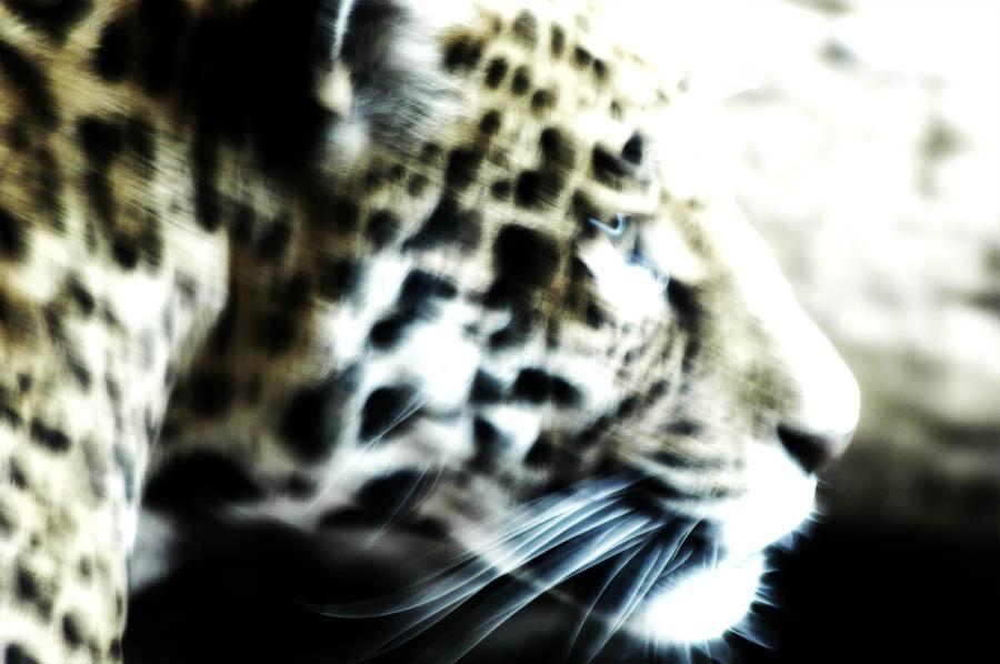 Leopard - Zoo Schönbrunn