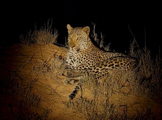 Leopard2 (Panthera pardus)