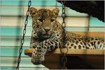 Leoparden (10)