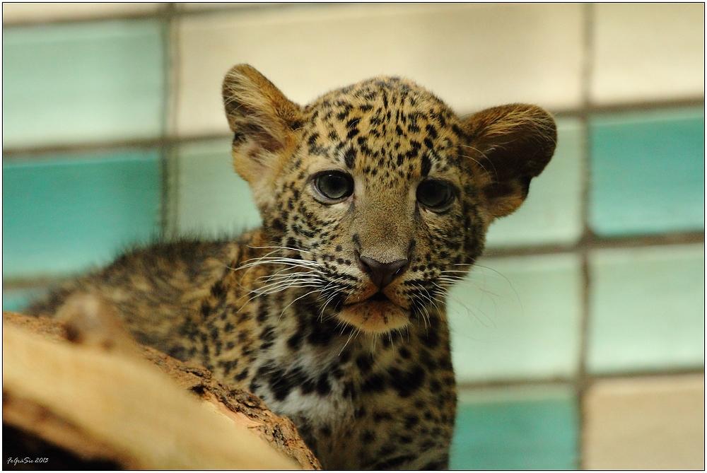 Leoparden (11)