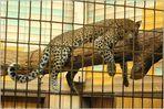 Leoparden (2)