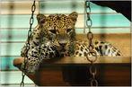 Leoparden (4)