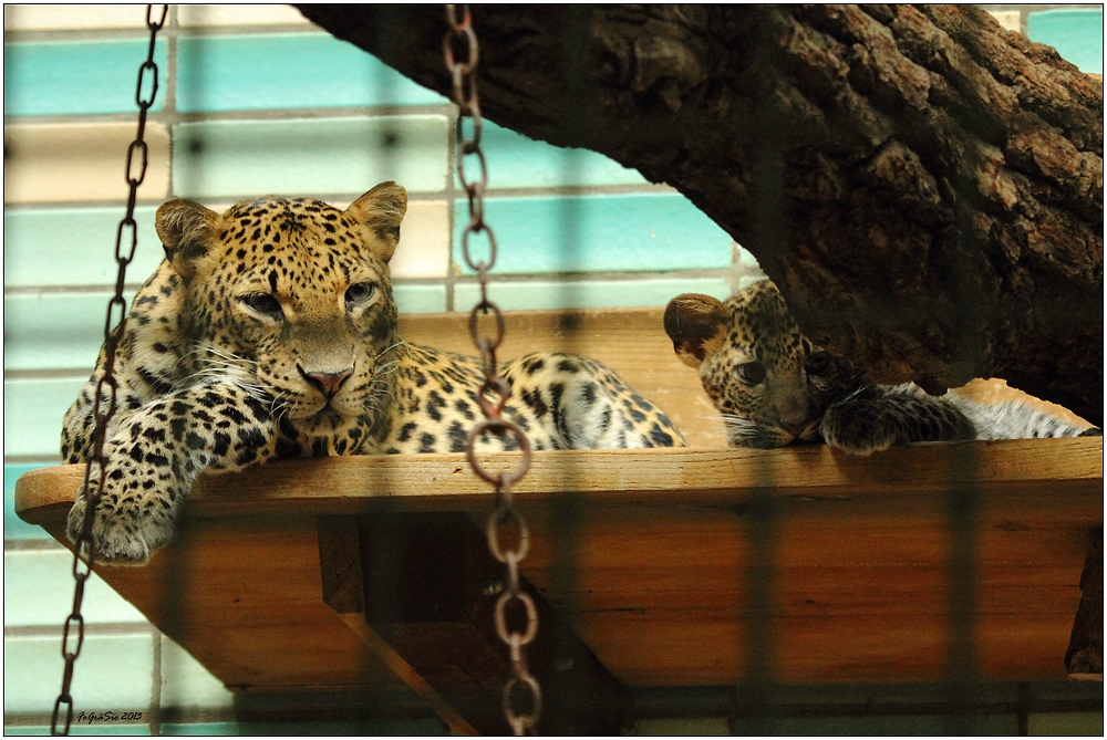 Leoparden (5)