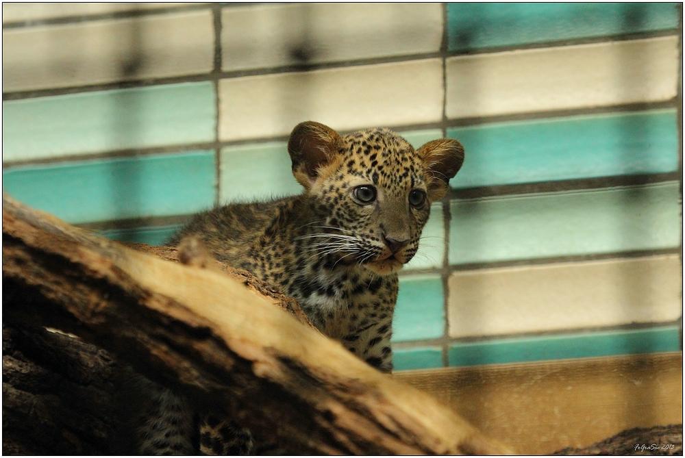Leoparden (7)