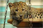 Leoparden (8)