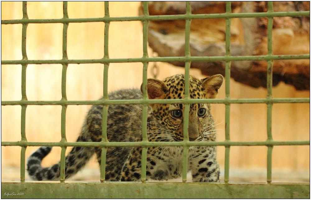 Leoparden (9)