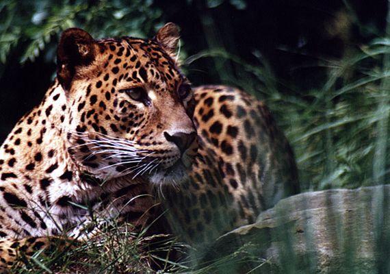 Leoparden Aufmerksamkeit
