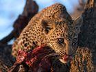 Leoparden Baby