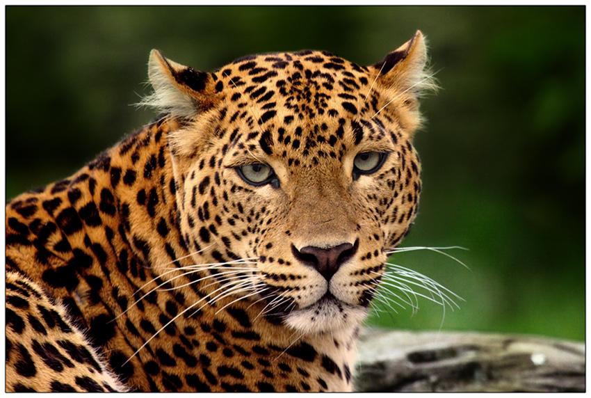 Leoparden Foto  Bild  tiere natur Bilder auf fotocommunity