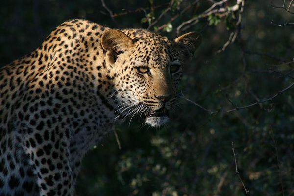 Leoparden im Bush