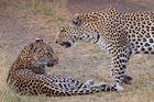 Leoparden im Moremi NP Botswana
