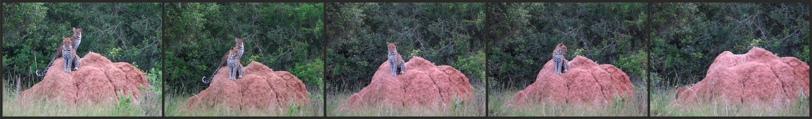 Leoparden - Lake Mburo Nationalpark