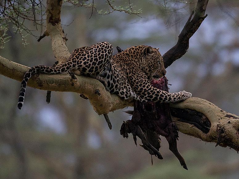 Leoparden Mahlzeit