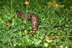 ...Leoparden Schnecke 2...
