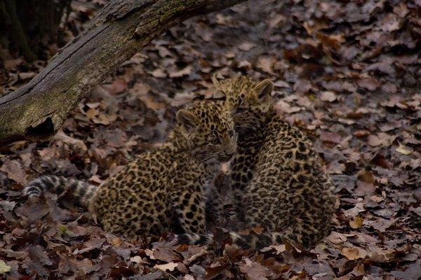 Leopardenbabys im Hamburger Zoo