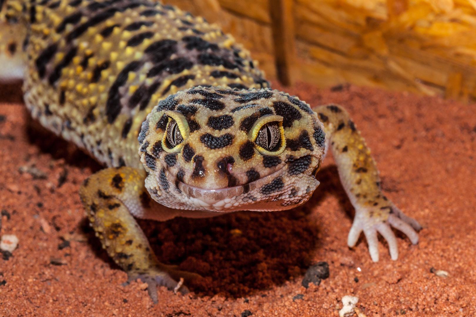 Leopardengecko 2