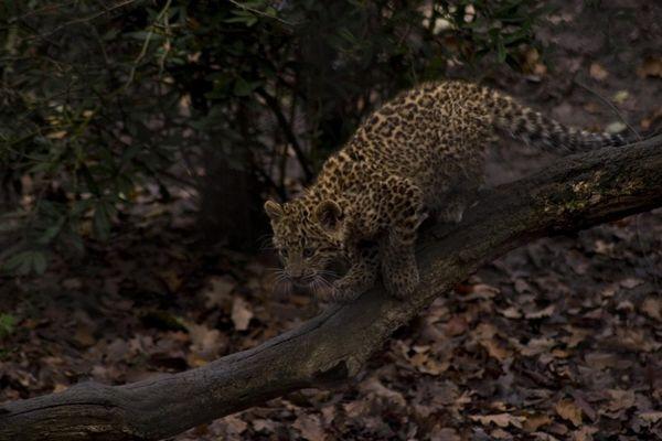 Leopardenjunges im Hamburger Zoo