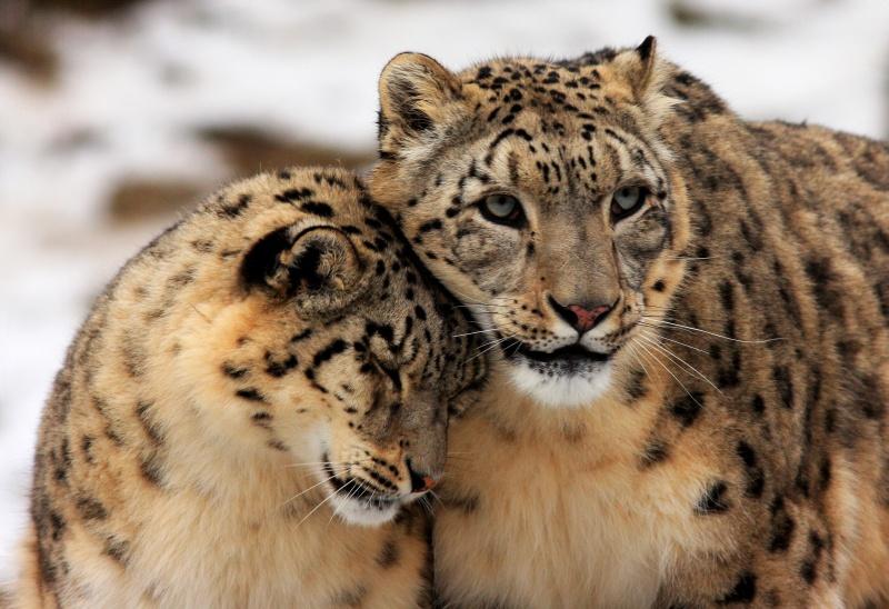 Leopardenliebe Teil2