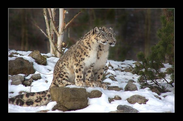 Leopardenpaar