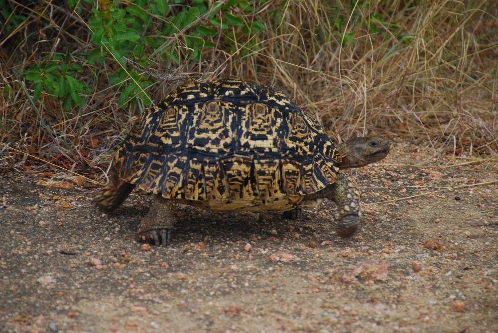 Leopardenschildkröte