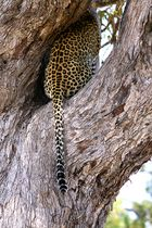 Leopardensiesta