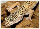 Leopardgecko ( Eublepharis macularius )