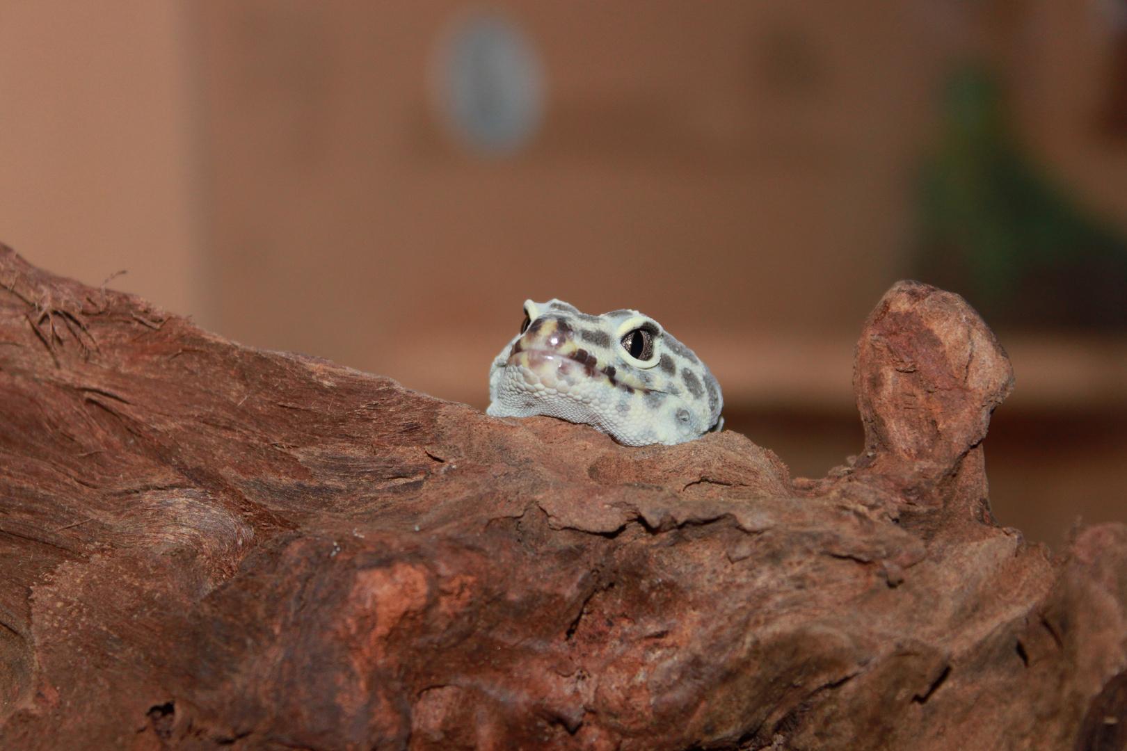 Leopardgecko schaut was es neues gibt da draussen....