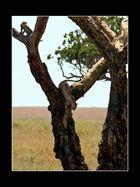 Leopardin geht abwärts