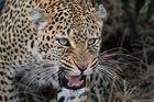 Leopardin im Ngala Private Game Reserve