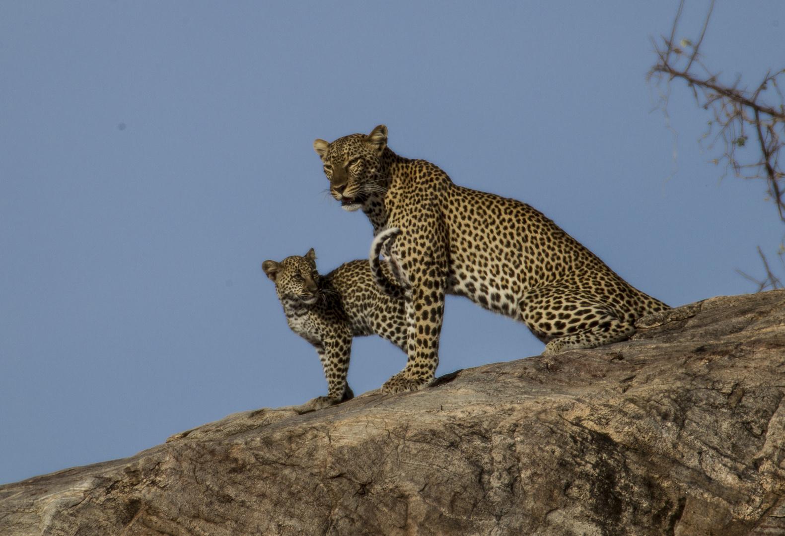 Leopardin mit ihrem Jungen