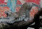 Leopardische Morgengymnastik