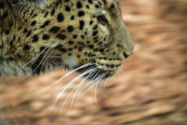 Leopardo in corsa