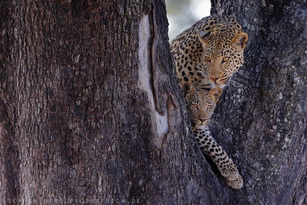 Leopards.
