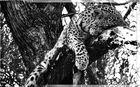 Leopard's Rest