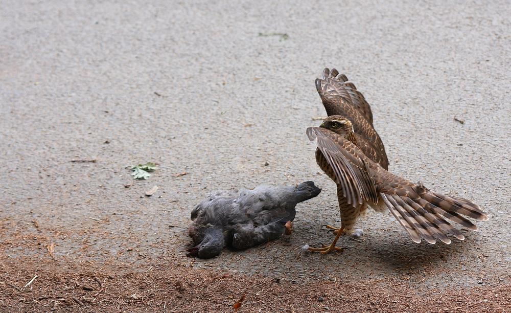 L'épervier & le pigeon