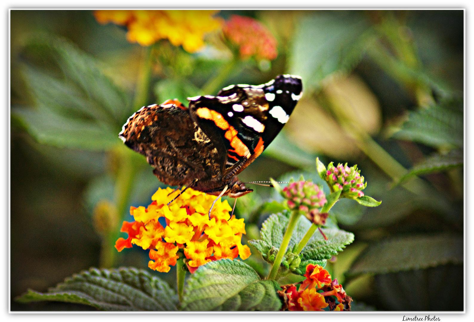 Lepidopteran