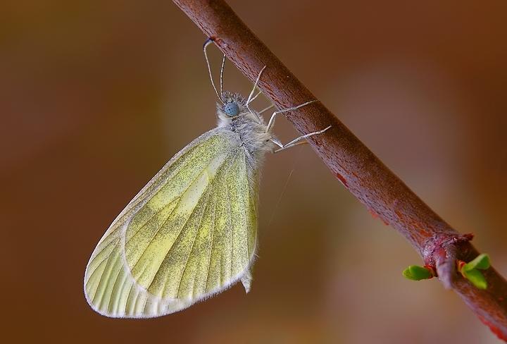 Leptidea sinapis (Pieridae)