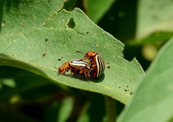 Leptinotarsa decemlineata (dorifera)
