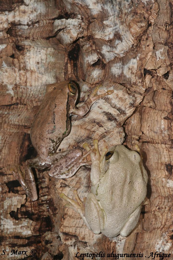 Leptopelis uluguruensis
