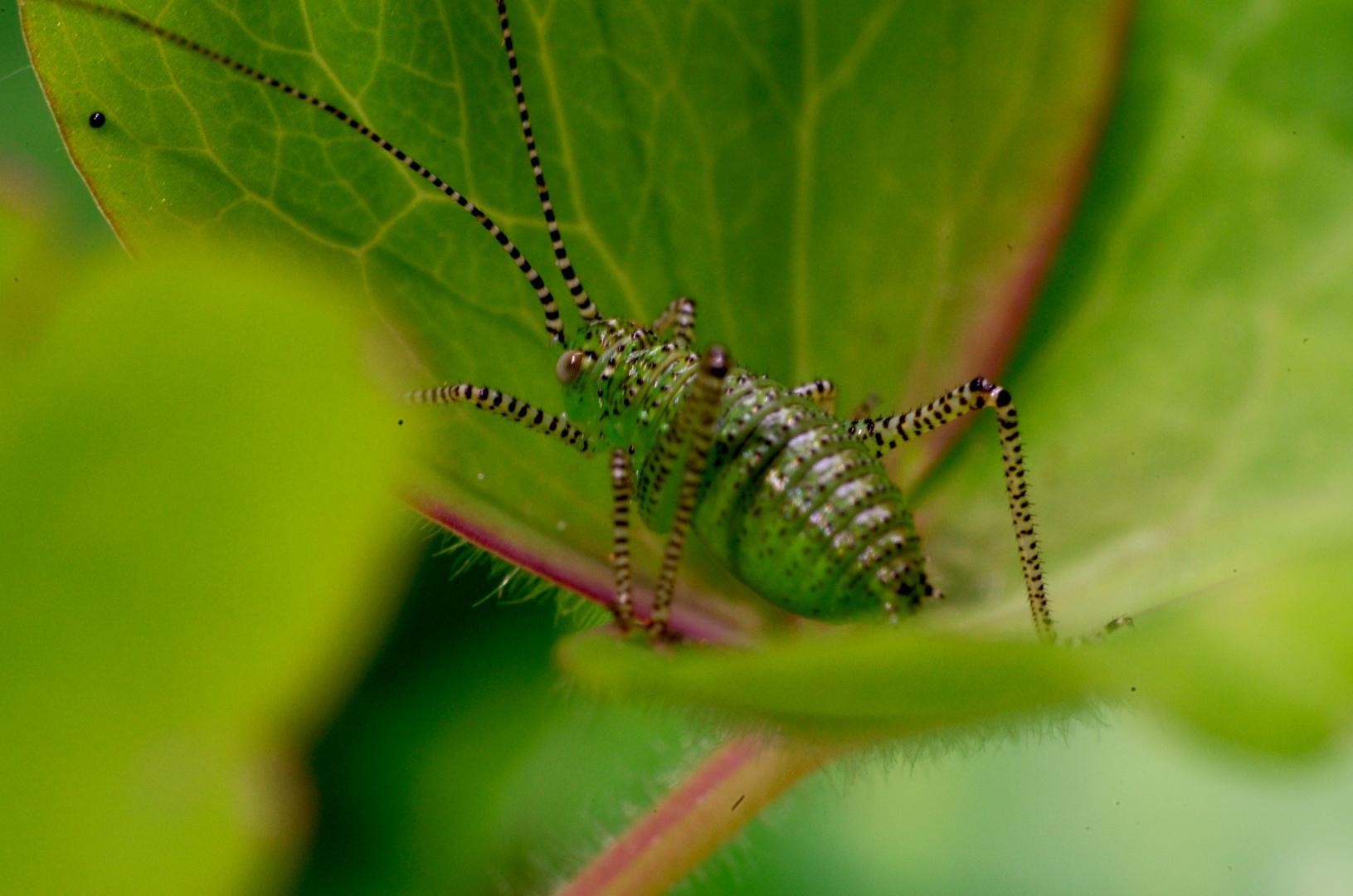Leptophyes punctatissima - Jungtier