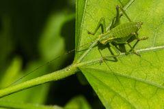 Leptophyes punctatissima (Punktierte Zartschrecke) Weibchen
