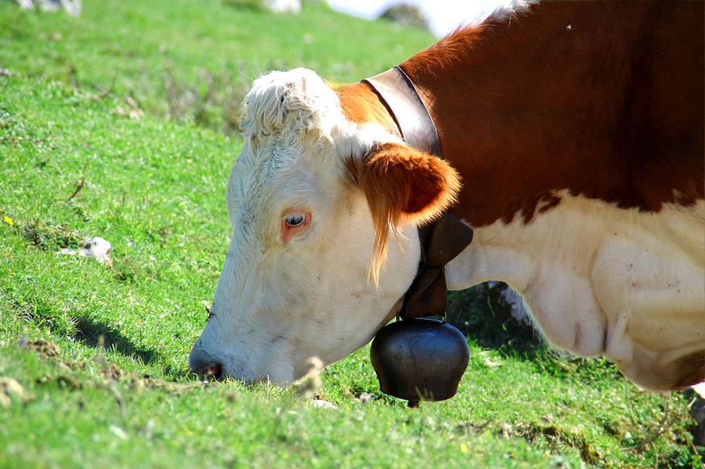 l'erba della mucca Carolina