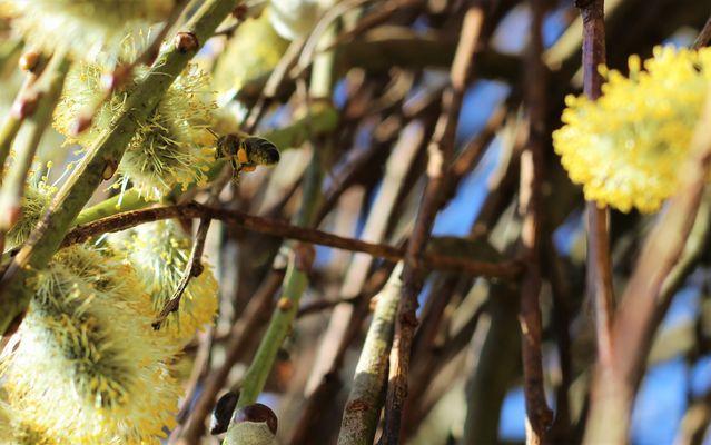 Les abeilles annoncent le printemps !