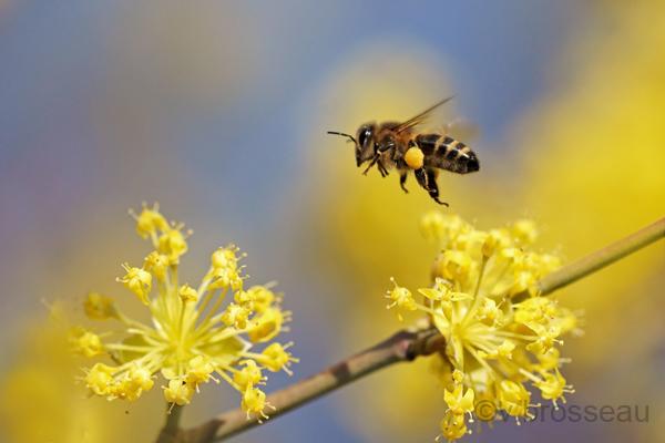 les abeilles reviennent !