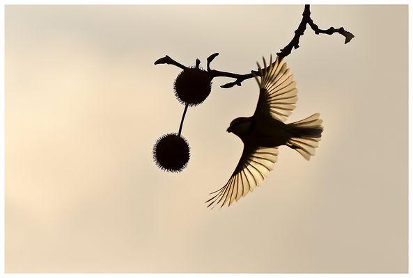 Les ailes de la mésange